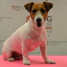 jack-russel-terrier-trymowanie-krakow