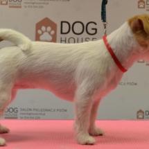 jack-russel-terrier-trymowanie-po