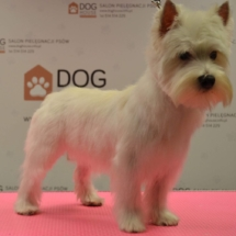 west-highland-white-terrier-trymowanie