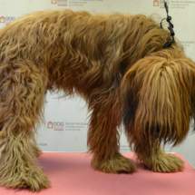 Briard-przed-psim-fryzjerem