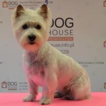 West-Highland-White-Terrier-strzyzenie-krakow