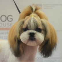 shihtzu_korean